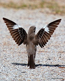 220px-northern_mocking_bird_display